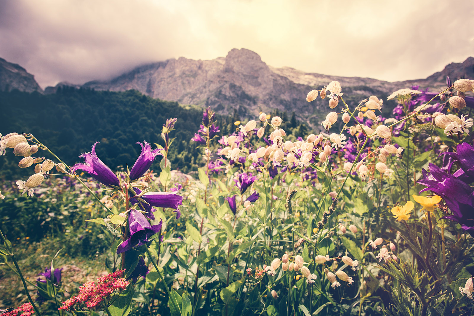 Almkräuterwiese mit Bergen und Wald