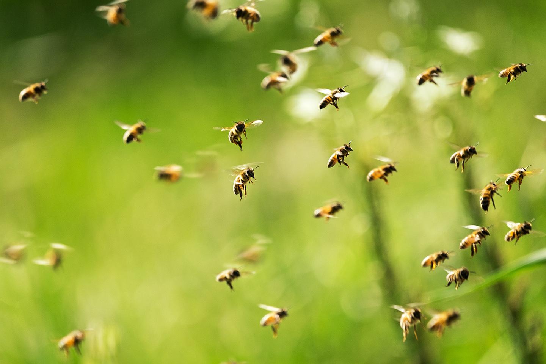 Bienen bei der Arbeit als Symbol für das BioBienenApfel-Projekt von Frutura
